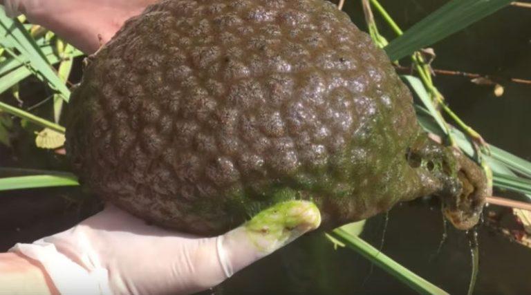 Hallan en las Lagunas de Rabasa una misteriosa especie con forma de cerebro