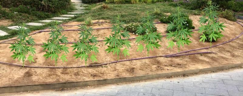 Plantas de marihuana en la plaza de la Montañeta