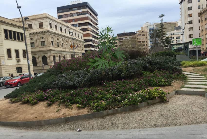 Planta de cannabis en la plaza de la Montañeta de Alicante
