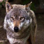 muerte de lobos en los cuentos