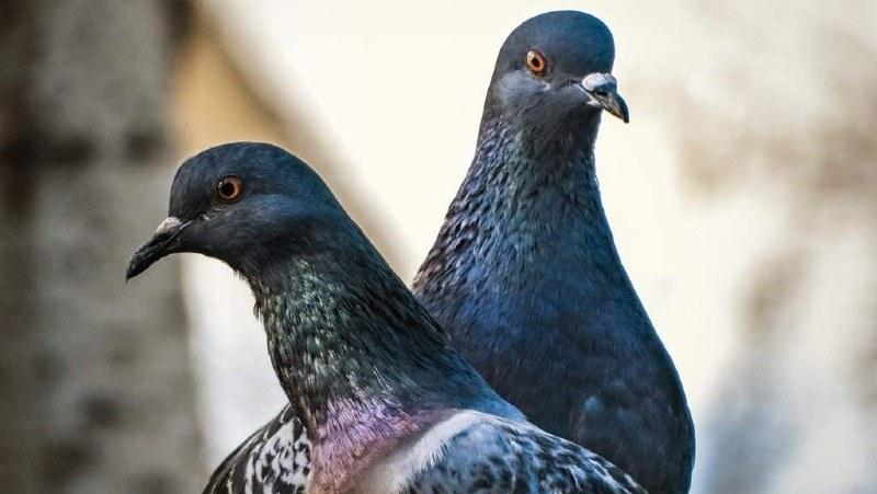 puzzle de palomas